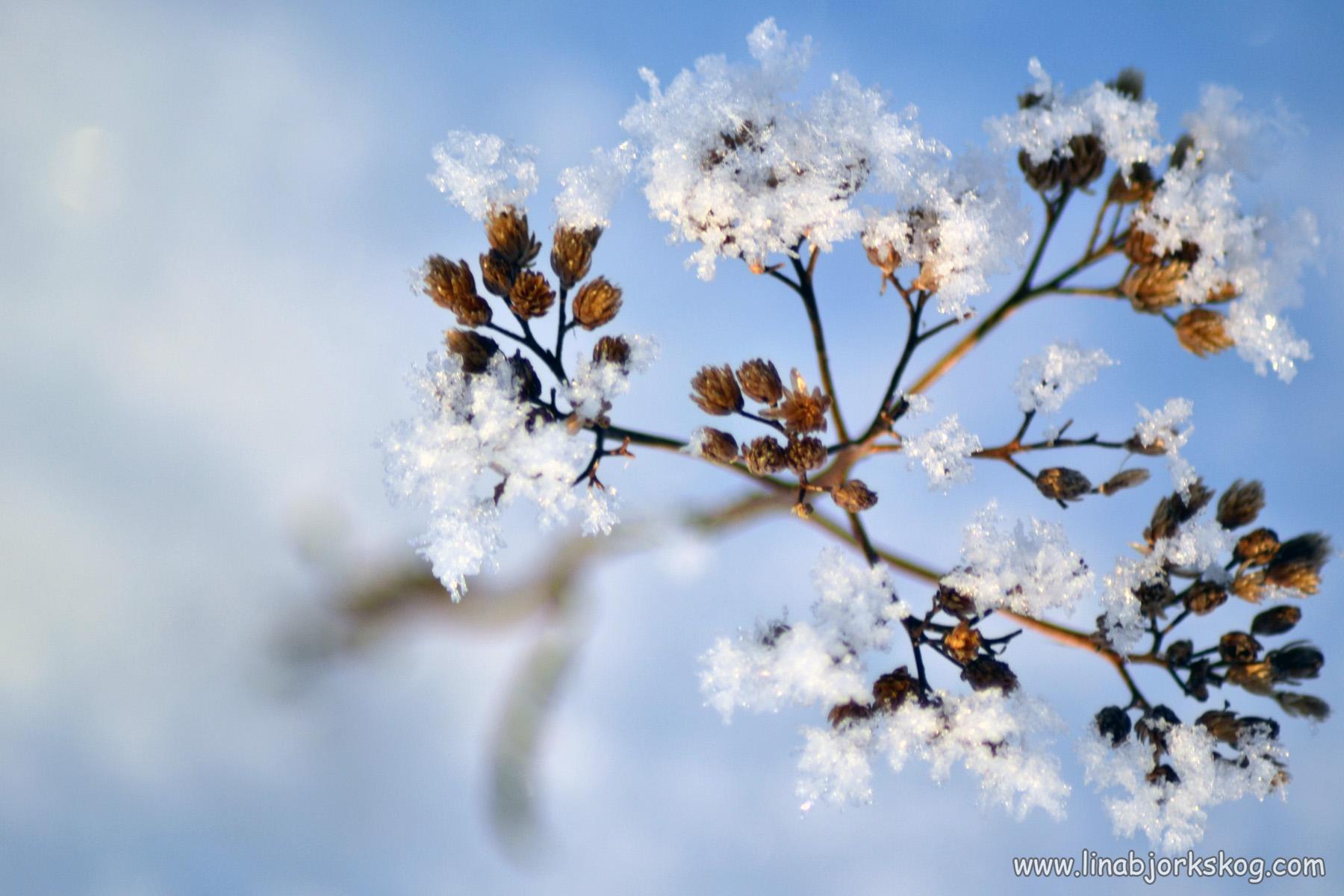 blomma under snö
