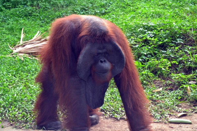 Orangutang Bali zoo