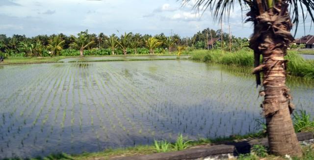 ubud risfält