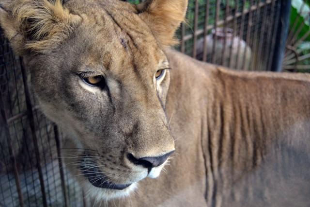 Lejon Bali Zoo